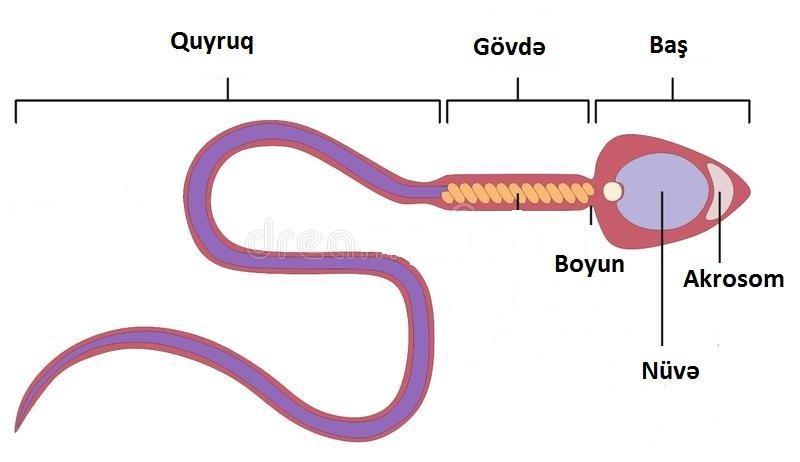 Varikosel - sonsuzluq - androloq Ziyad Aliyev Baki - sperma faizi